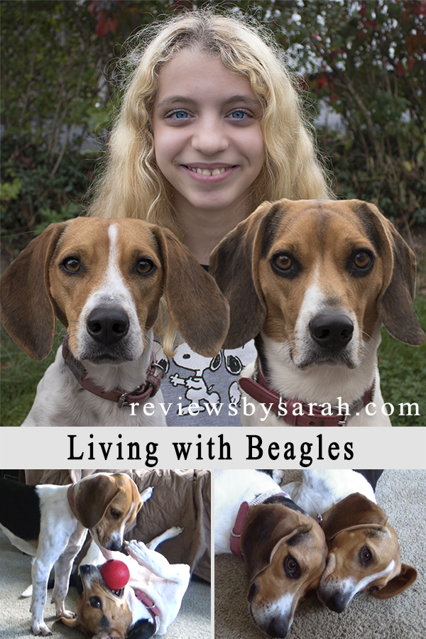 What It Is Like Living With Two Beagles