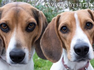 Top 5 Reasons to Love a Beagle or Two Beagles